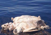 tortugas muertas en oaxaca